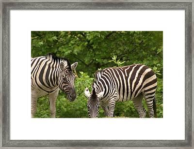 Grazing Zebras Framed Print by Sonja Anderson