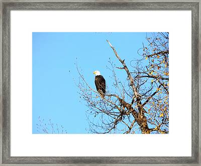 Great American Bald Eagle Framed Print by Adam Cornelison