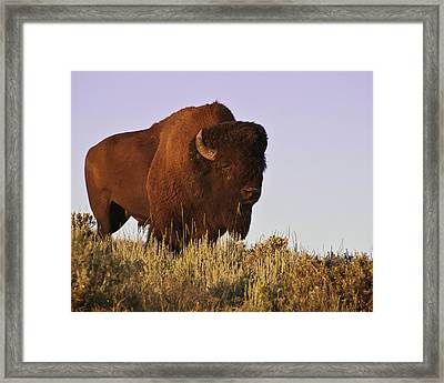 Great American Bison Framed Print