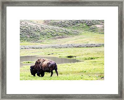 Great American Bison Framed Print
