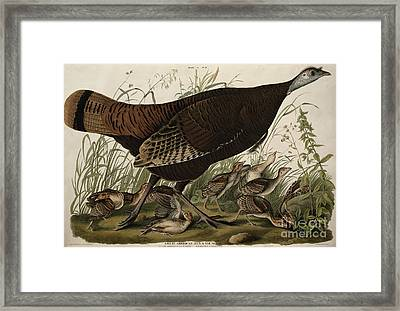 Great American Hen And Young Framed Print