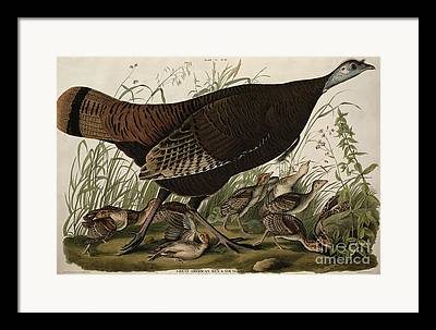 Great American Hen And Young Framed Prints