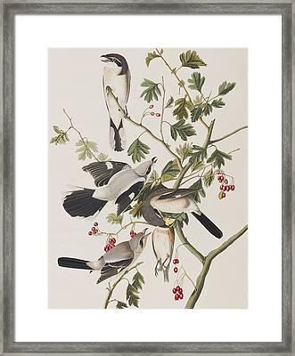 Great American Shrike Framed Print by John James Audubon