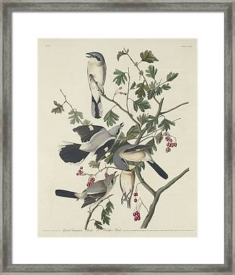 Great American Shrike Or Butcher Bird Framed Print by Rob Dreyer