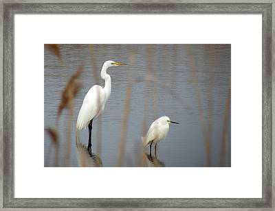 Great And Snowy Egret Framed Print by Donald Cameron