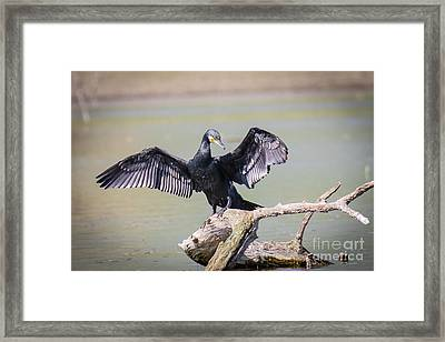 Great Black Cormorant Drying Wings After Fishing Framed Print by Jivko Nakev
