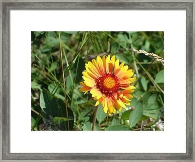 Great Blanket Flower Gaillardia Framed Print