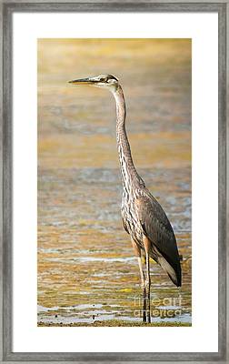 Great Blue At The Flats Framed Print