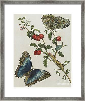 Great Blue Butterflies And Red Fruits Framed Print by Maria Sibylla Graff Merian