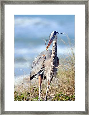 Great Blue Heron - Nesting Framed Print