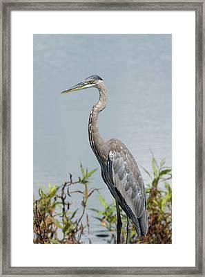 Great Blue Heron #2 Framed Print
