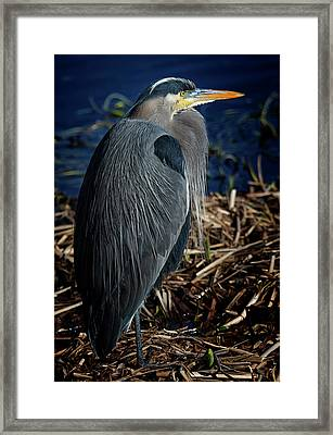 Great Blue Heron 2 Framed Print by Randy Hall