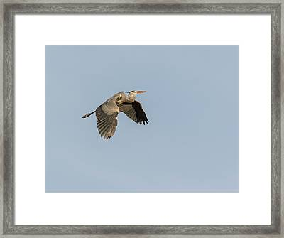 Framed Print featuring the photograph Great Blue Heron 2015-15 by Thomas Young
