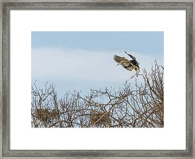 Great Blue Heron 2015-16 Framed Print by Thomas Young