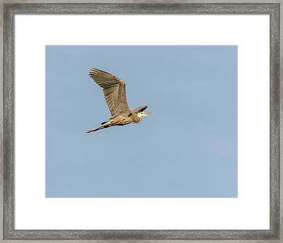 Framed Print featuring the photograph Great Blue Heron 2015-17 by Thomas Young