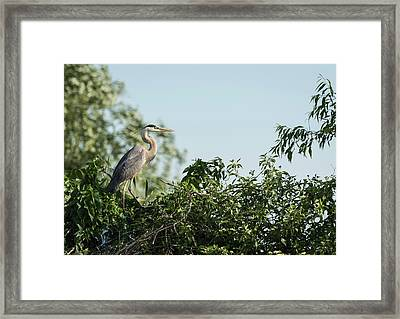 Framed Print featuring the photograph Great Blue Heron  2015-18 by Thomas Young