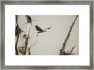 Framed Print featuring the photograph Great Blue Heron - 6 by David Bearden