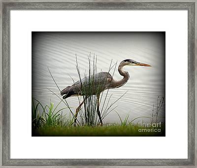 Great Blue Heron - Afternoon Walk 2 Framed Print by Trish Hebendahl