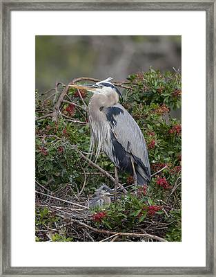 Great Blue Heron And Nestling Framed Print