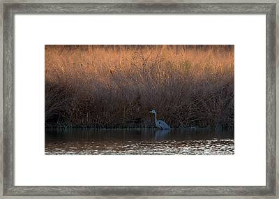 Great Blue Heron And Sunlit Field Framed Print