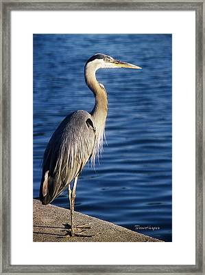 Great Blue Heron At Put-in-bay Framed Print