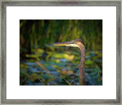 Great Blue Heron At Sunset Framed Print by Mark Andrew Thomas