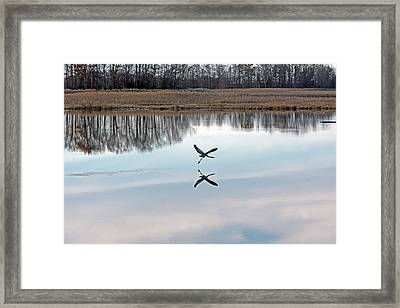 Great Blue Heron At Take-off Framed Print by Jennifer Nelson