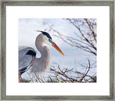 Great Blue Heron At Wakodahatchee Wetlands Framed Print by Michelle Wiarda