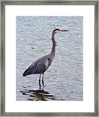 Framed Print featuring the photograph Great Blue Heron by Bill Barber