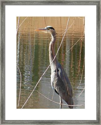 Framed Print featuring the photograph Great Blue Heron By Willow Tree by Jeanne Kay Juhos
