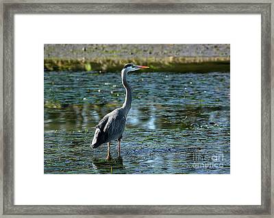 Great Blue Heron Catching The Light Framed Print