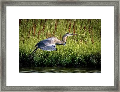Great Blue Heron Framed Print by Cathy Cooley