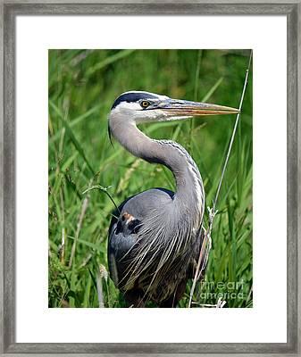 Great Blue Heron Close-up Framed Print