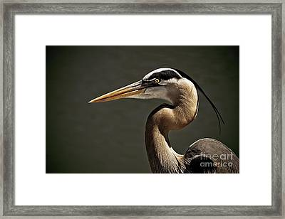 Great Blue Heron Close Up Portrait Framed Print