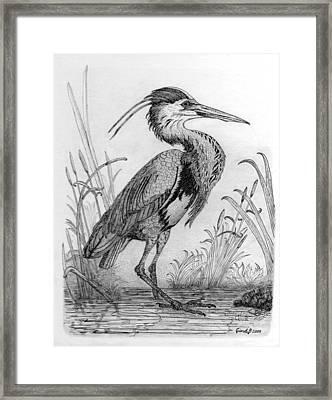 Great Blue Heron Framed Print by Cynthia  Lanka