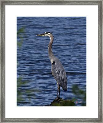 Great Blue Heron Dmsb0001 Framed Print by Gerry Gantt