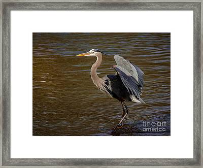 Great Blue Heron - Flooded Creek Framed Print by Robert Frederick