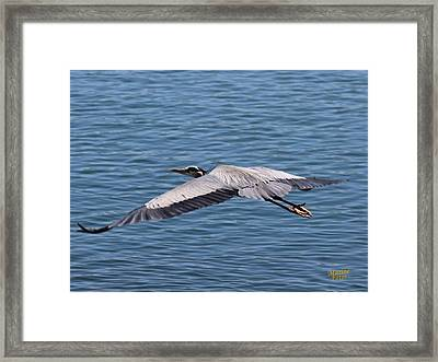 Great Blue Heron Flying Over Morro Bay Framed Print