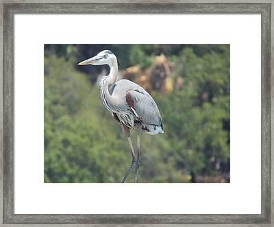 Great Blue Heron Framed Print by Ginger Adams