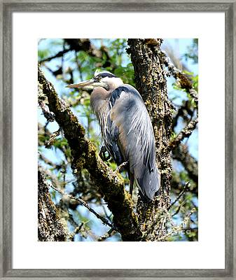 Great Blue Heron In A Tree Framed Print