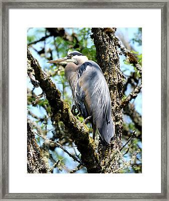 Great Blue Heron In A Tree Framed Print