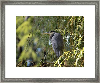 Great Blue Heron In A Willow Tree Framed Print by Keith Boone