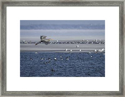 Great Blue Heron In Flight 2014-2 Framed Print by Thomas Young