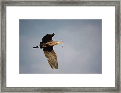 Great Blue Heron In Flight Framed Print by Ann Bridges