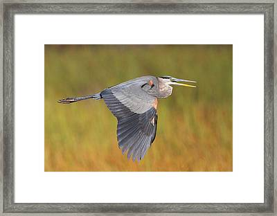 Great Blue Heron In Flight Framed Print by Bruce J Robinson