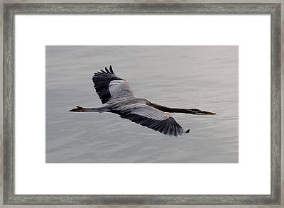 Framed Print featuring the photograph Great Blue Heron In Flight  by Christy Pooschke
