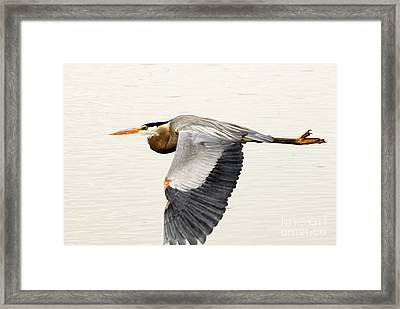 Great Blue Heron In Flight Framed Print by Dennis Hammer
