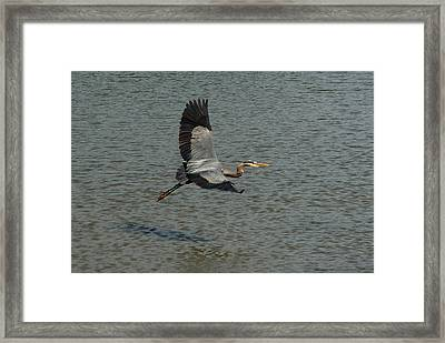 Framed Print featuring the photograph Great Blue Heron In Flight by Kathleen Stephens