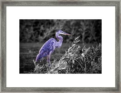 Great Blue Heron In Marsh - Color Select Framed Print
