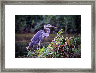 Great Blue Heron In Marsh Framed Print